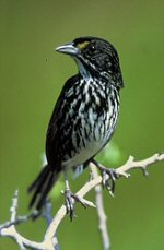 Dusky Sea Side Sparrow